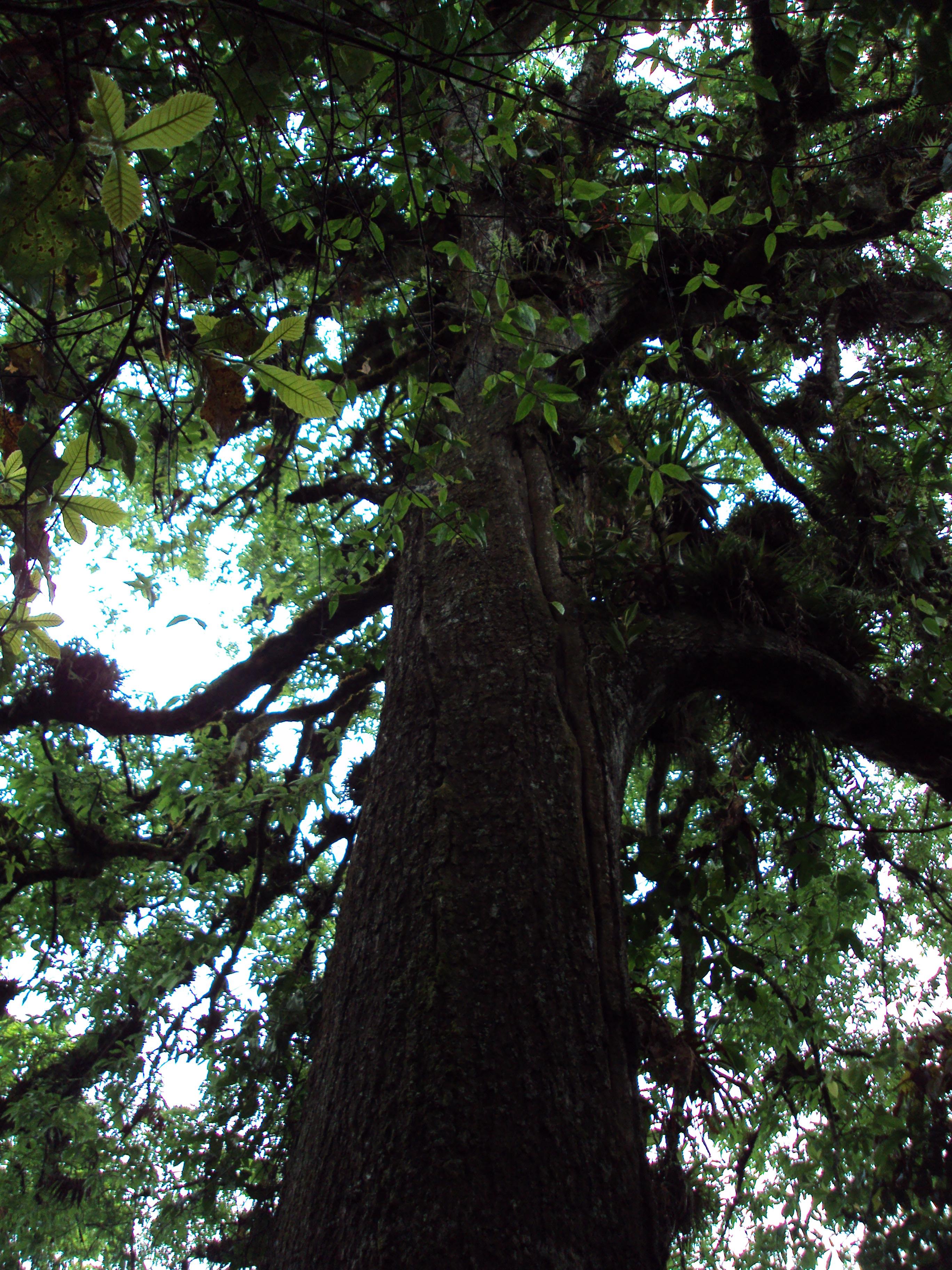 árbol de bosque primario. Granadillo, San José, La Paz